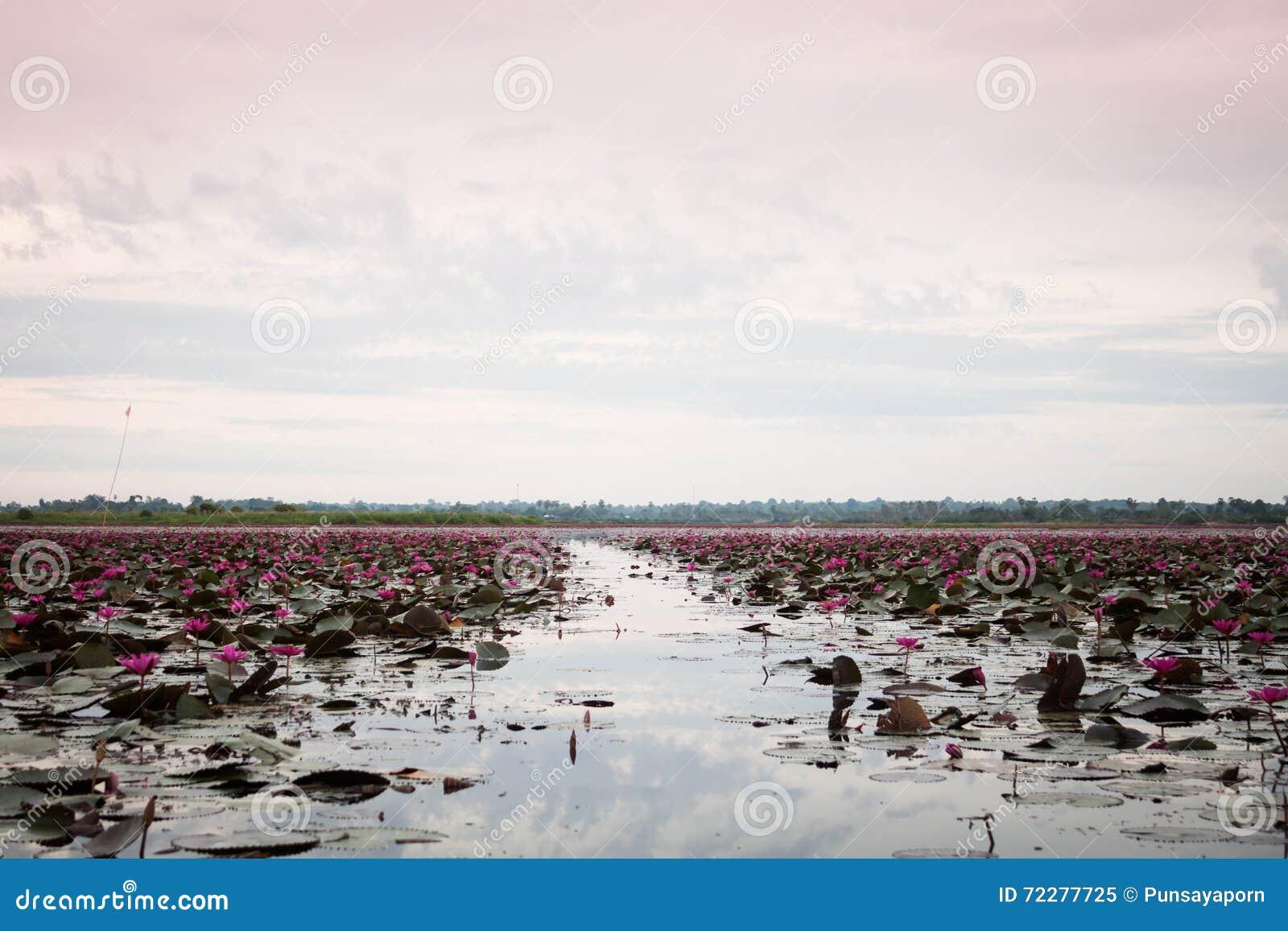 Download Озеро красного лотоса на Udonthani Таиланд (невиденный в Таиланде) Стоковое Изображение - изображение насчитывающей средства, флора: 72277725