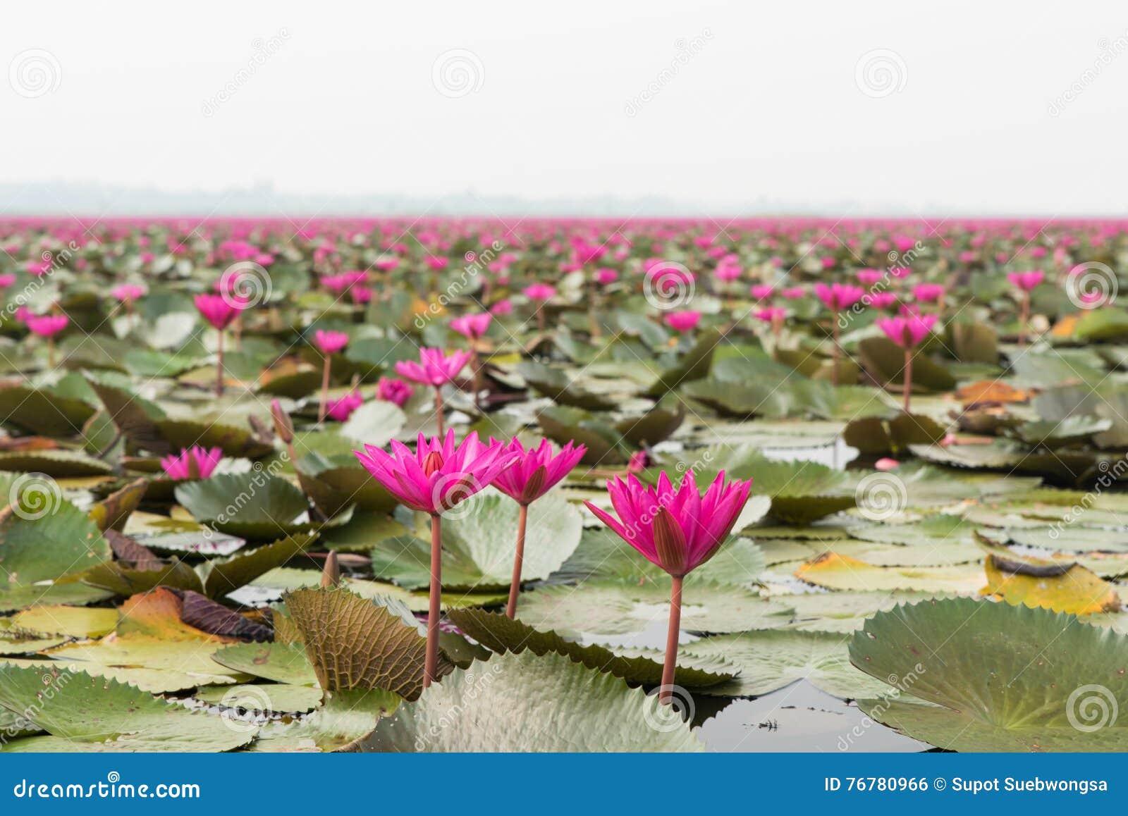 Озеро розового ландшафта лилии воды в Udonthani