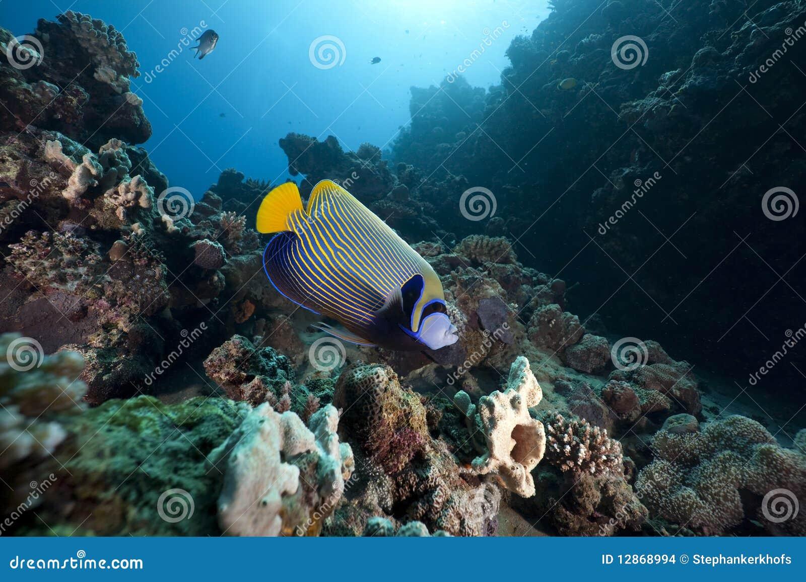 океан angelfish царственный