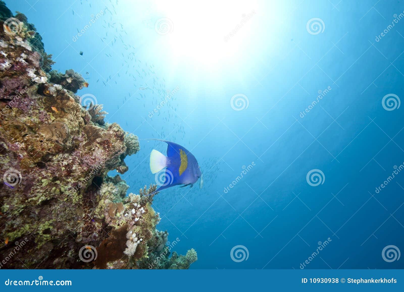 океан angelfish yellowbar