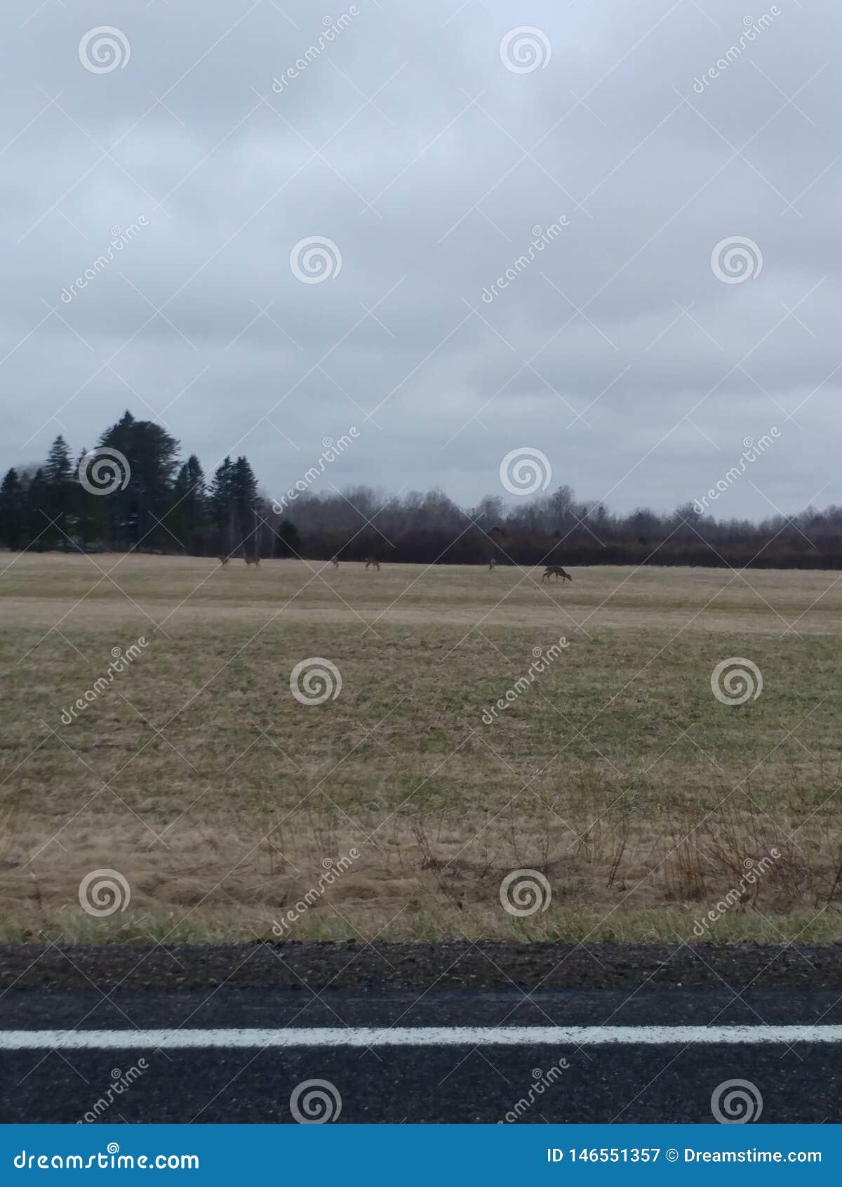 Олени пася, открытое поле, спокойствие, спокойствие, настолько близко пока до сих пор