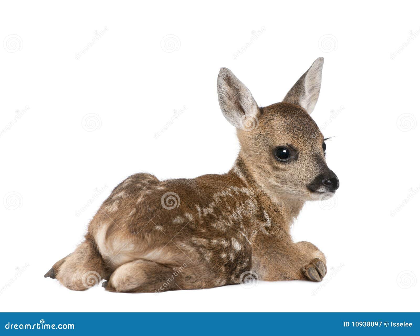 олени предпосылки заискивают передняя белизна козуль