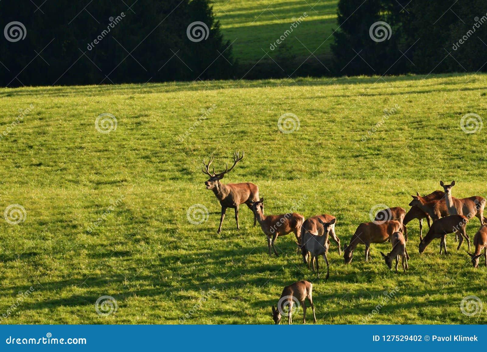 Олень живой природы защищает и держит наблюдать табуна deerskin во время колейности на луге