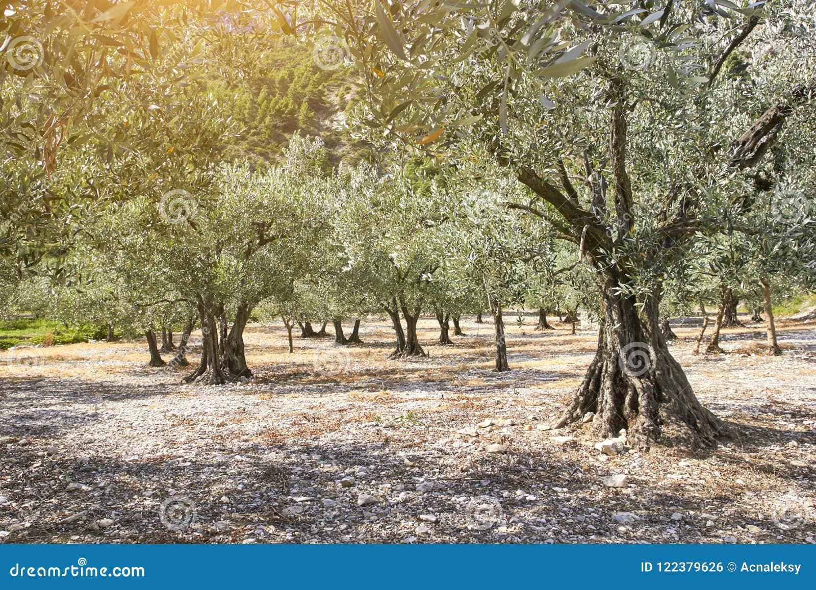 оливковые дерева krk острова рощи Хорватии Франция Провансаль