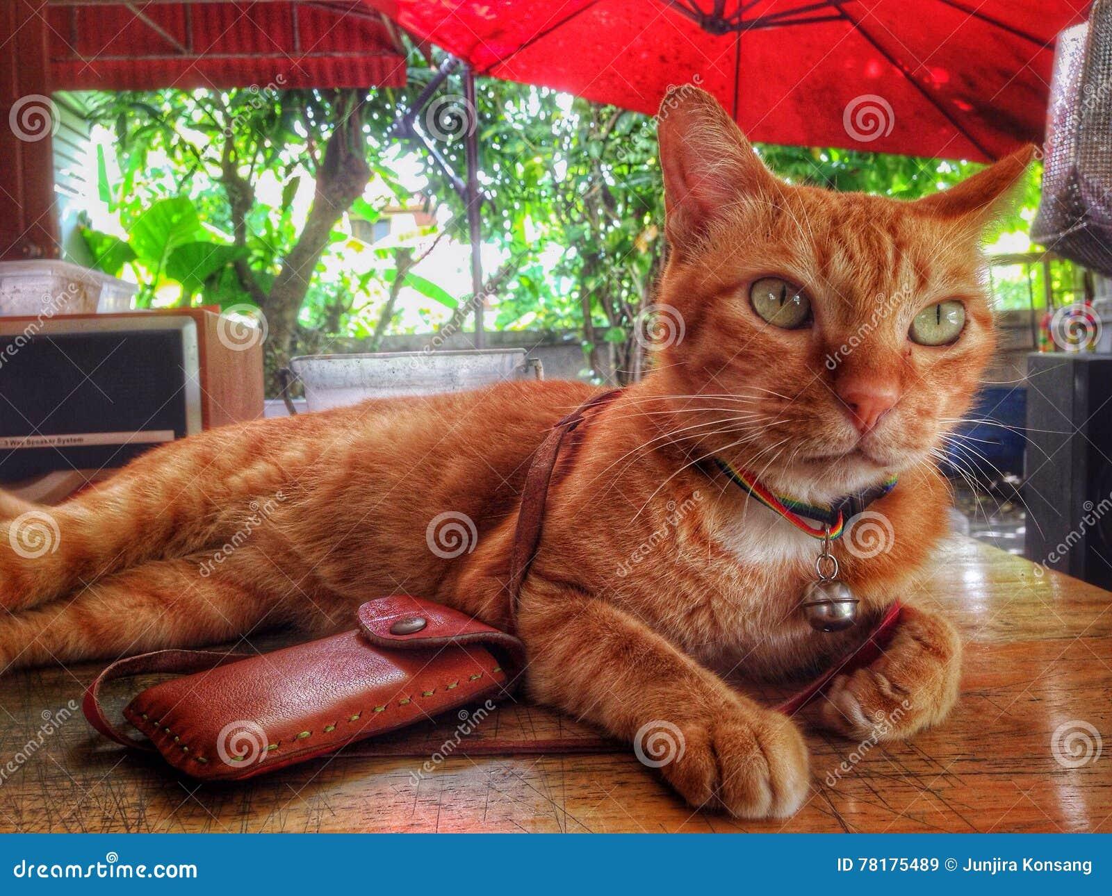 домашнее животное кота