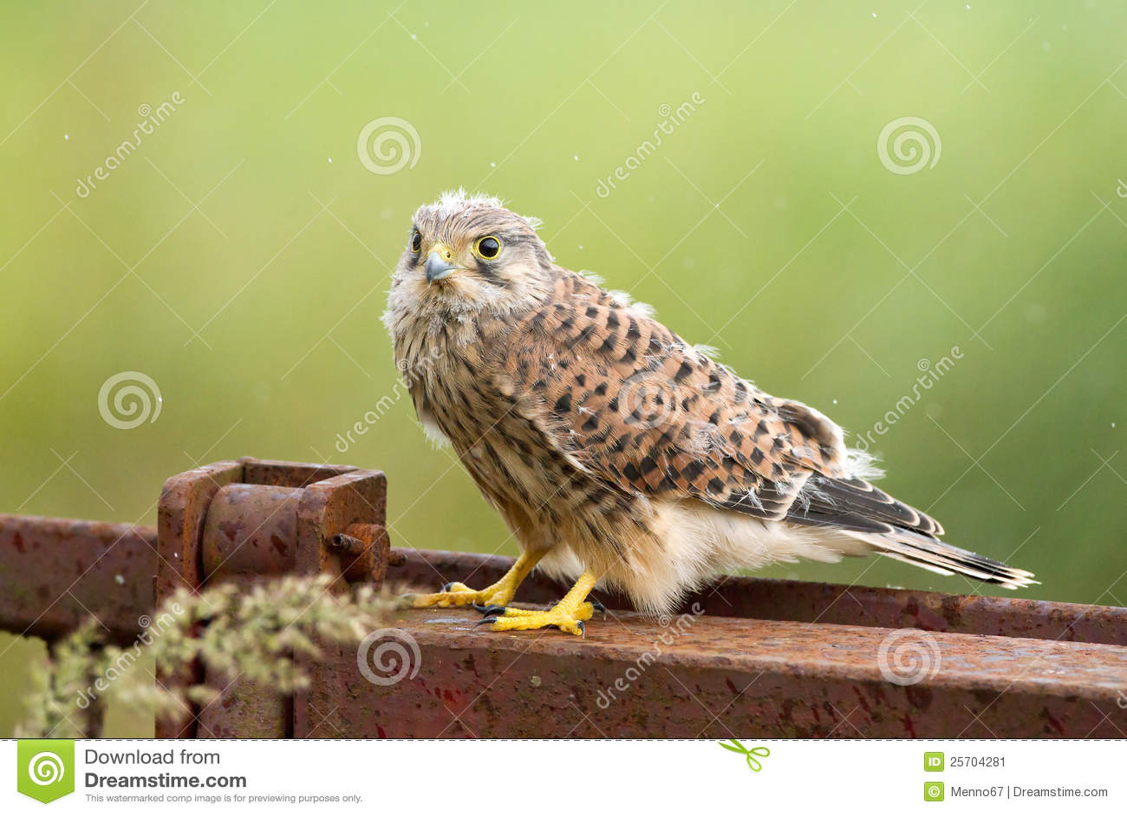 оперяет детеныши гнездя kestrel