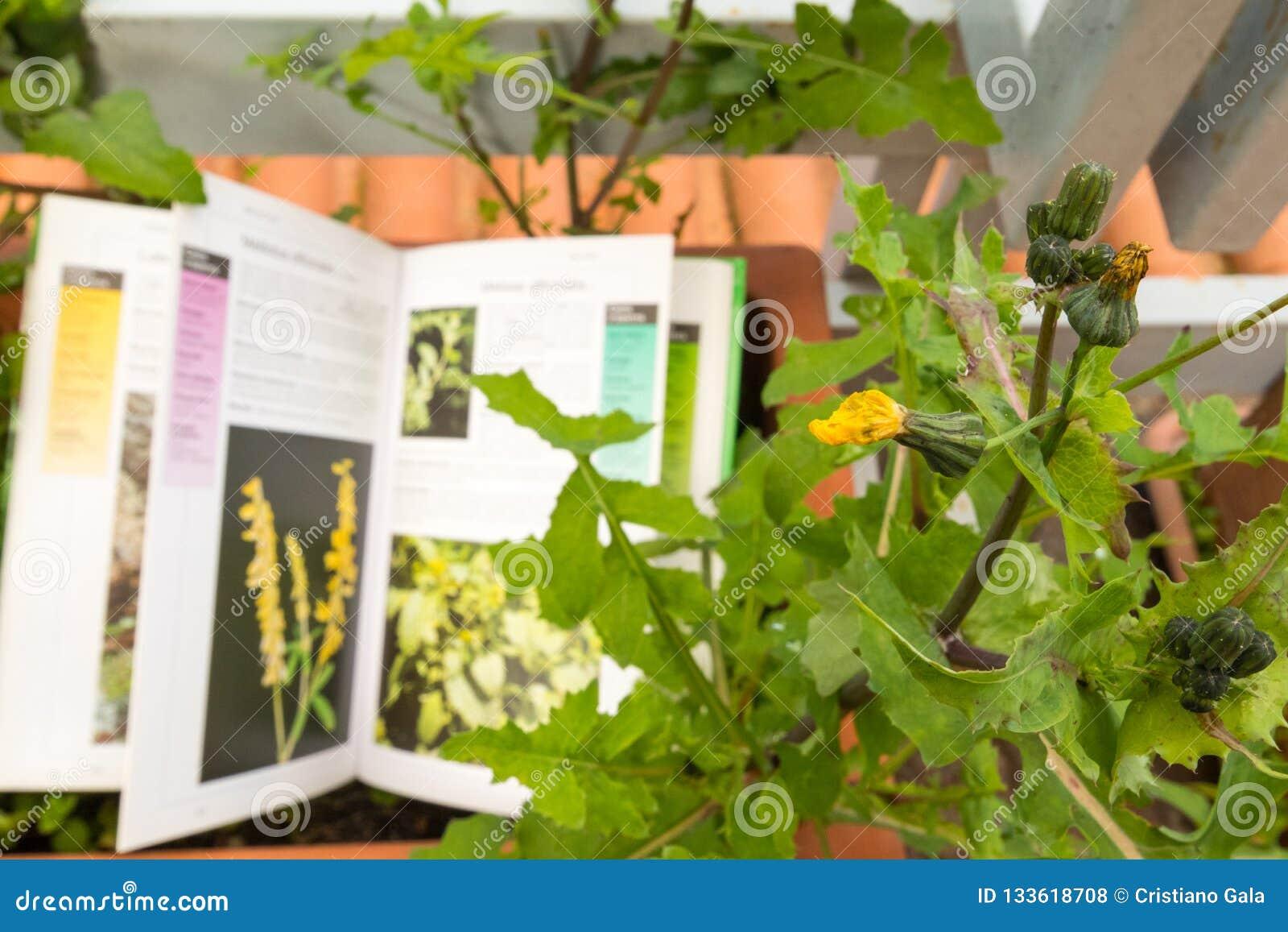 Определять полевой цветок с проводником поля ботаники