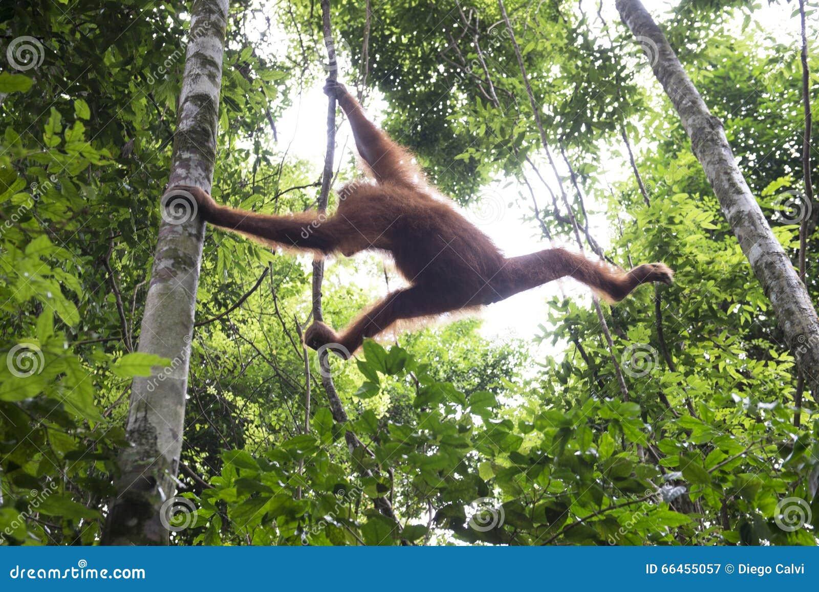 Орангутан в джунглях sumatra
