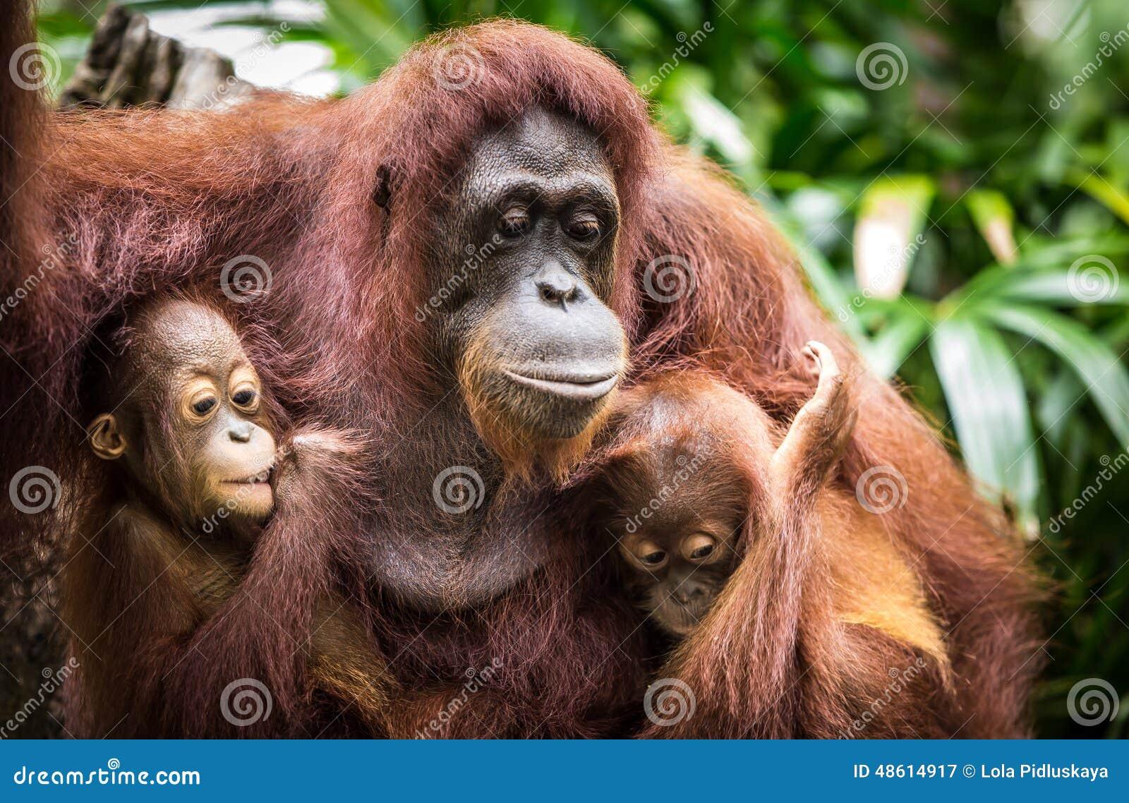 Орангутан с 2 младенцами