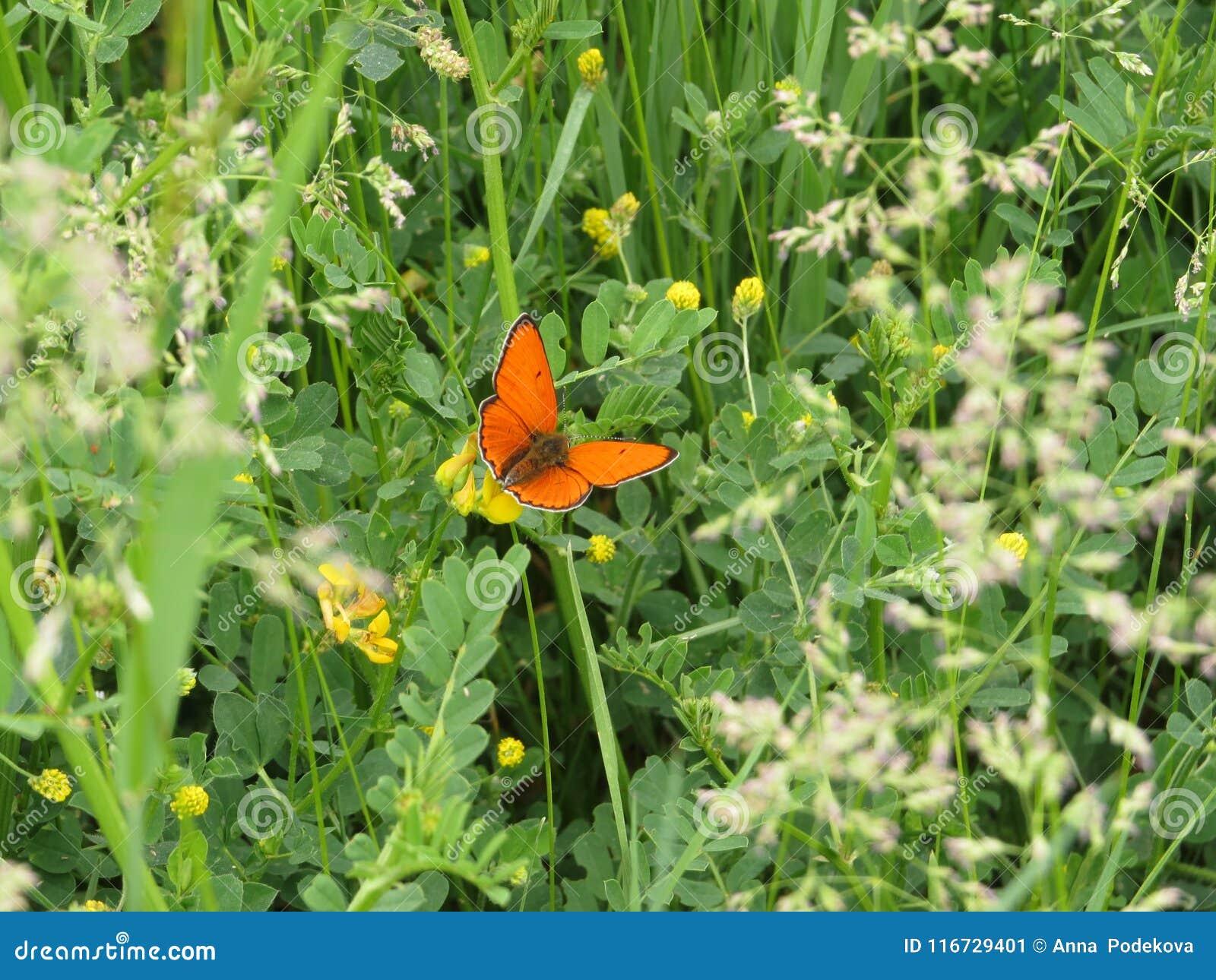 Оранжевая бабочка в зеленом луге весны Медная бабочка