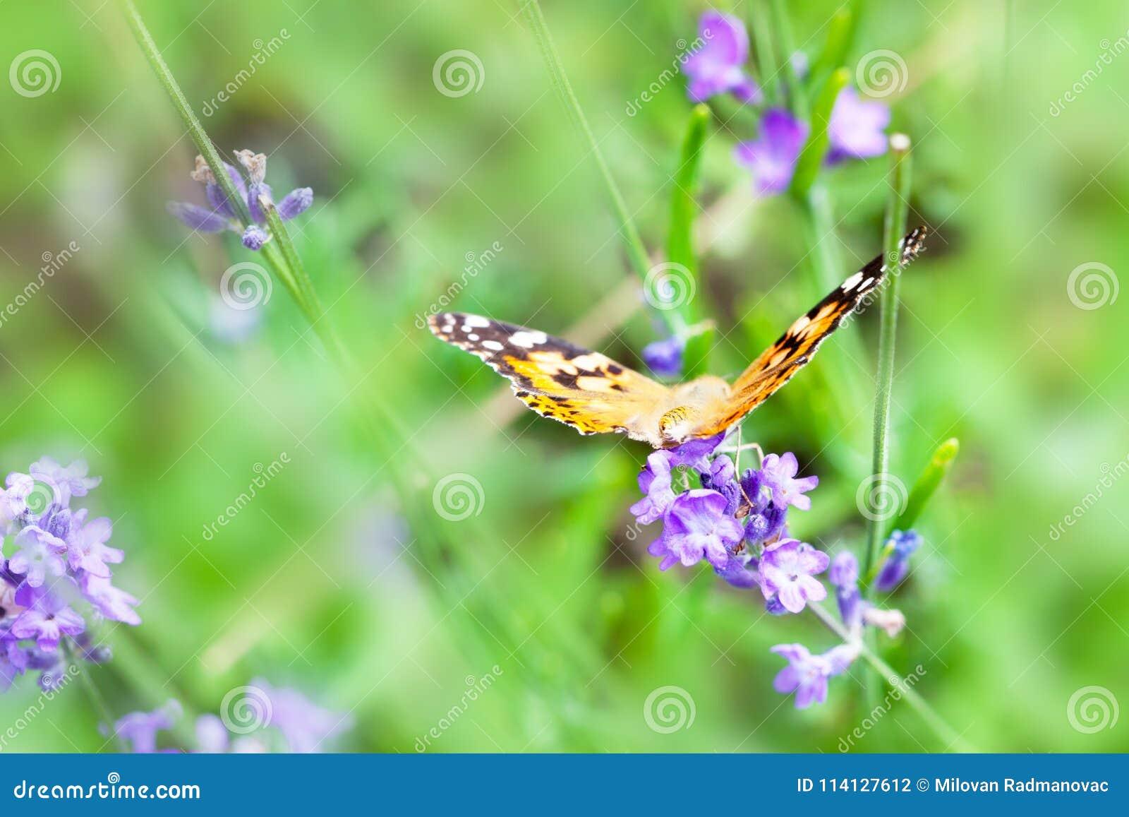 Оранжевая и черная бабочка на фиолетовом цветке