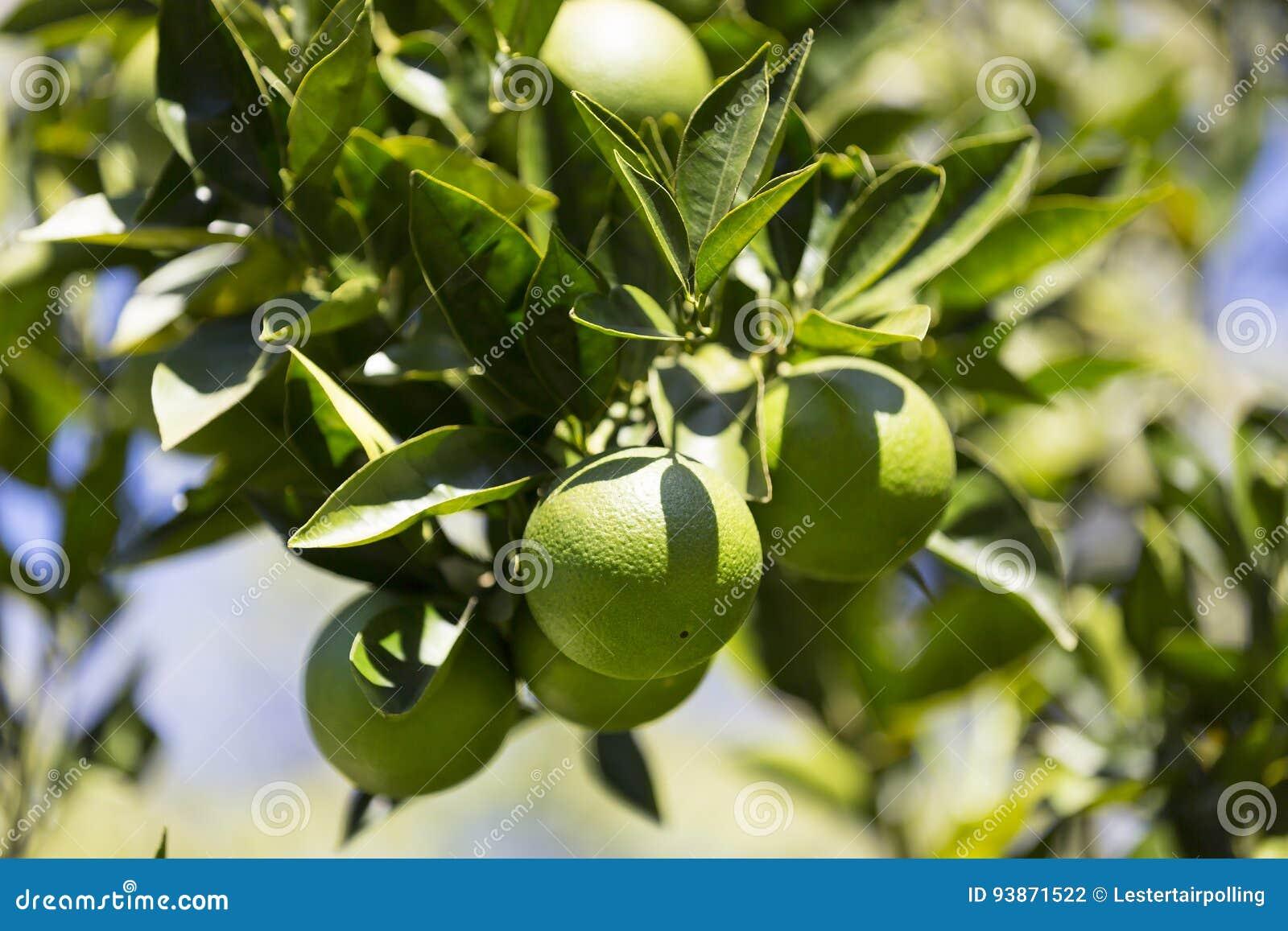 Оранжевое дерево с плодоовощами зреет