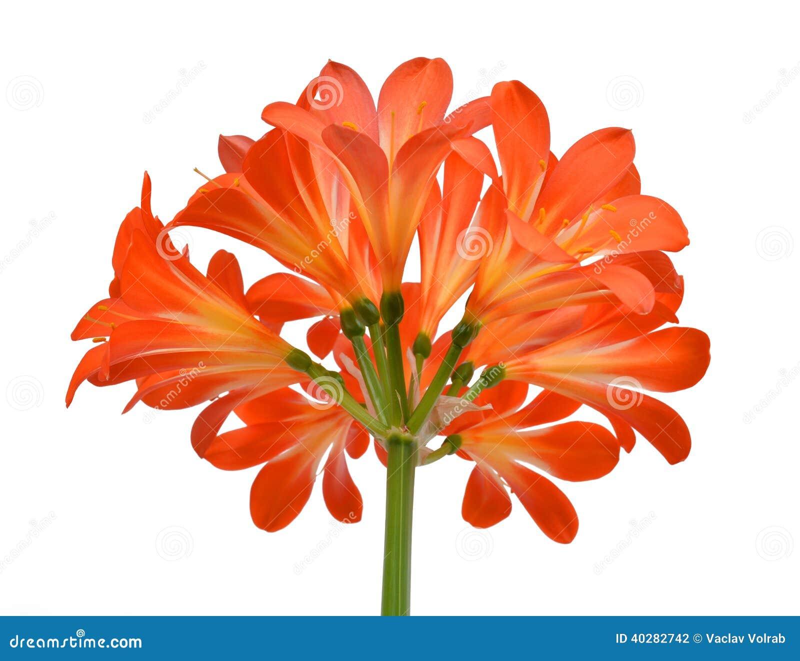 Оранжевое miniata Clivia