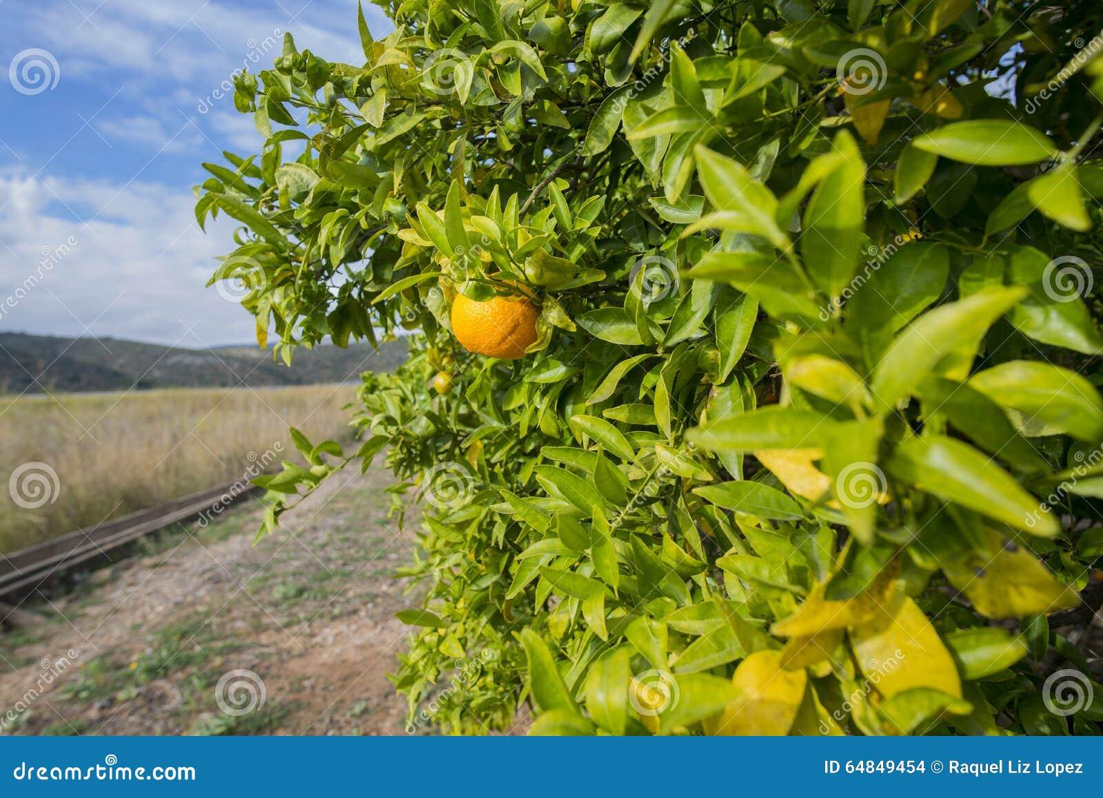 Оранжевые деревья