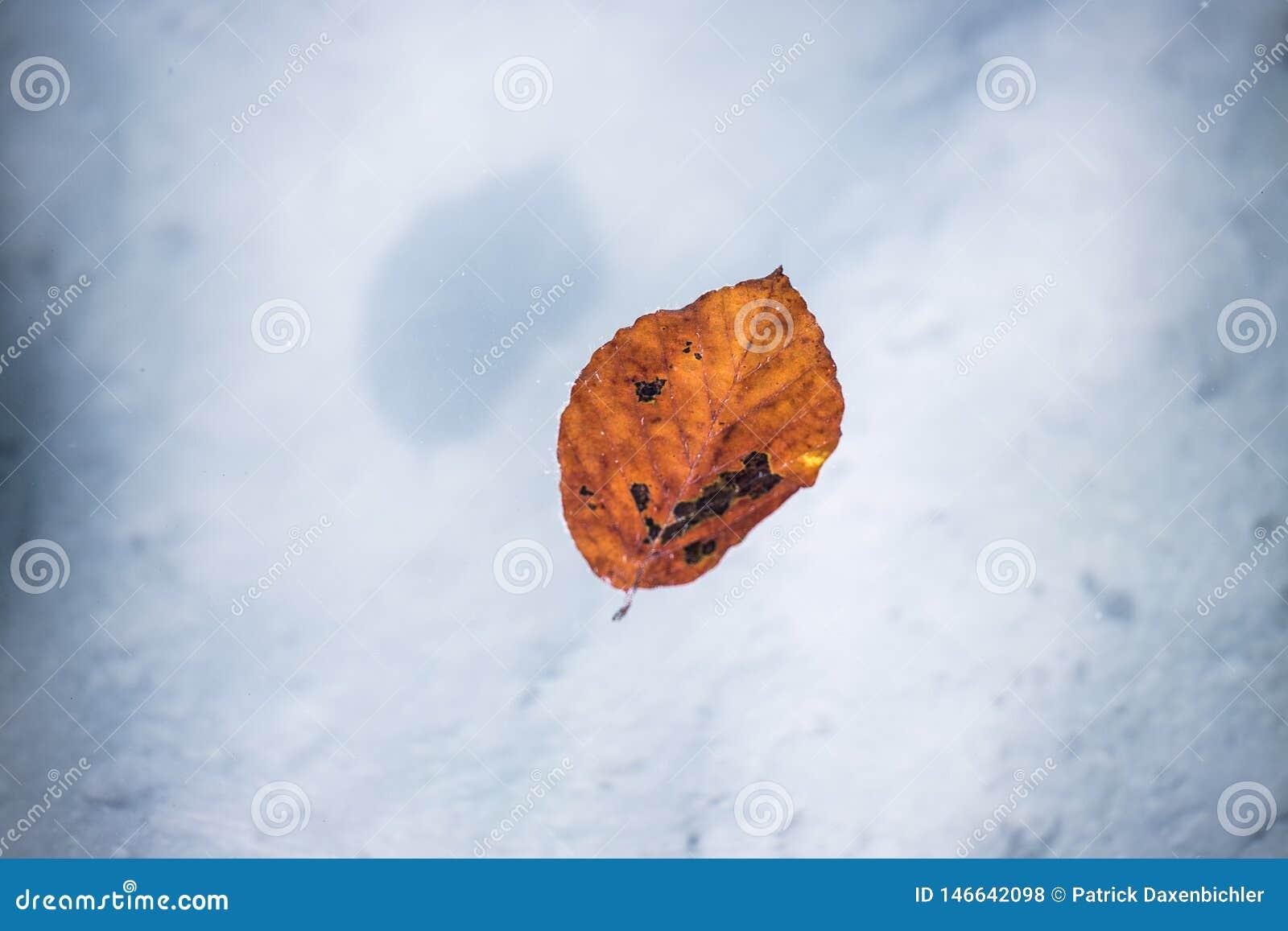 Оранжевые заплывы лист в открытом море реки, экземпляра