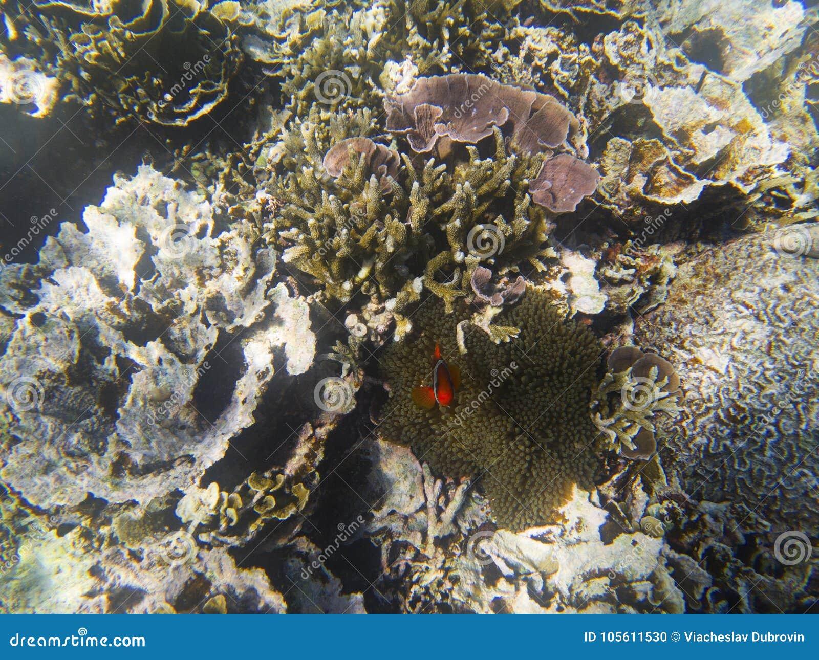 Оранжевые anemonefish пряча в actinia Подводное фото ландшафта