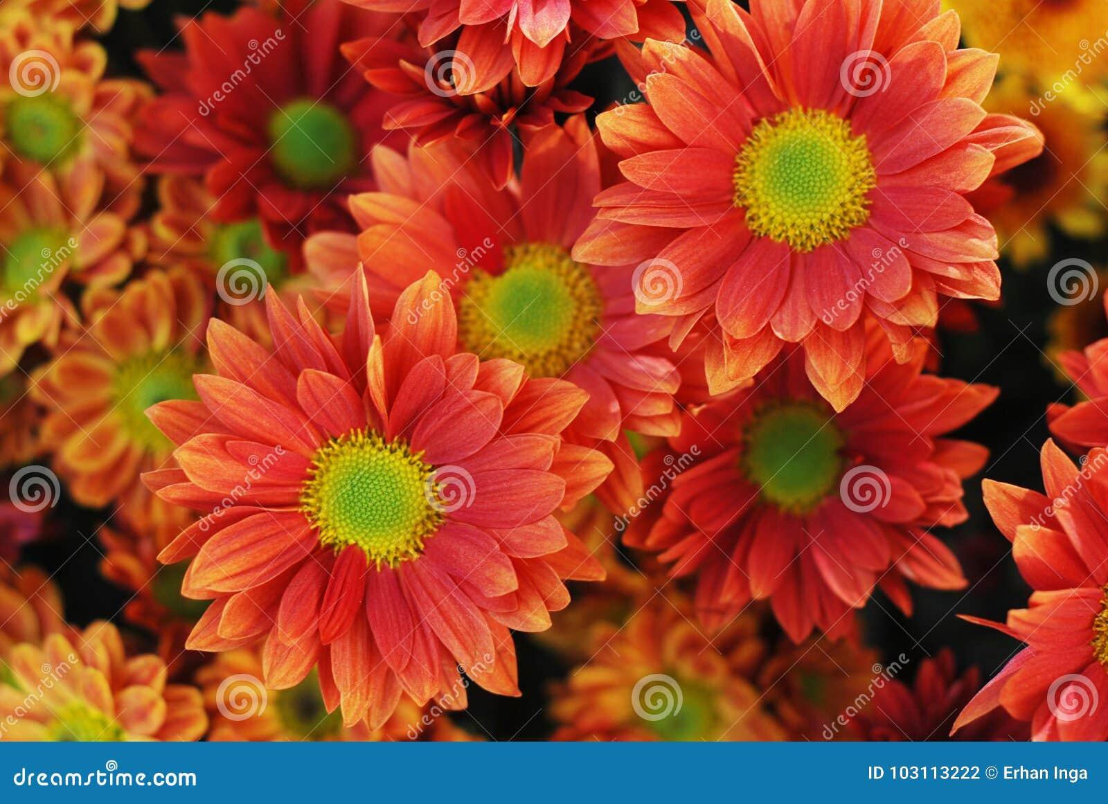Оранжевый букет цветка хризантемы Закройте вверх с зеленой серединой