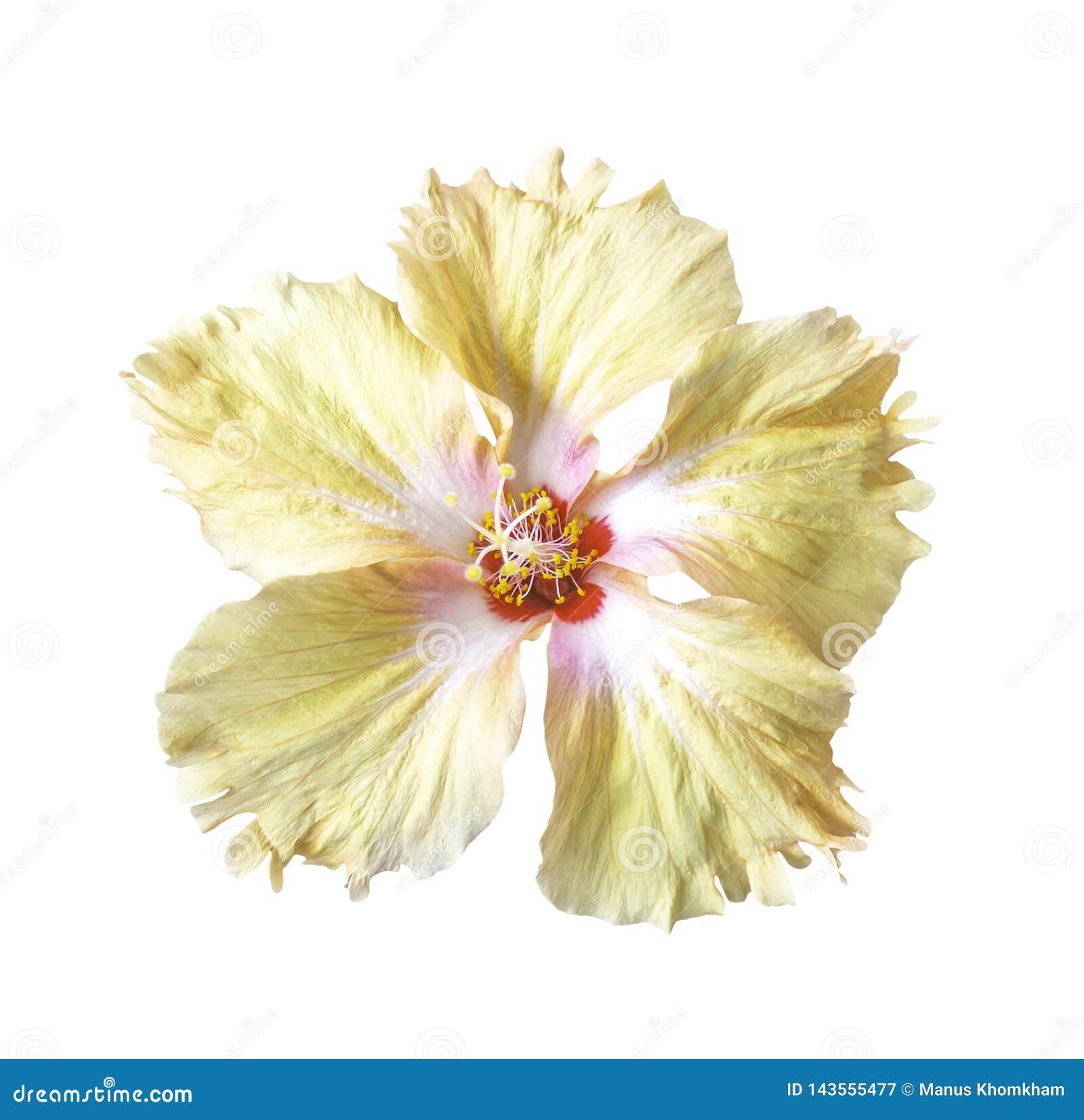Оранжевый изолированный цветок гибискуса