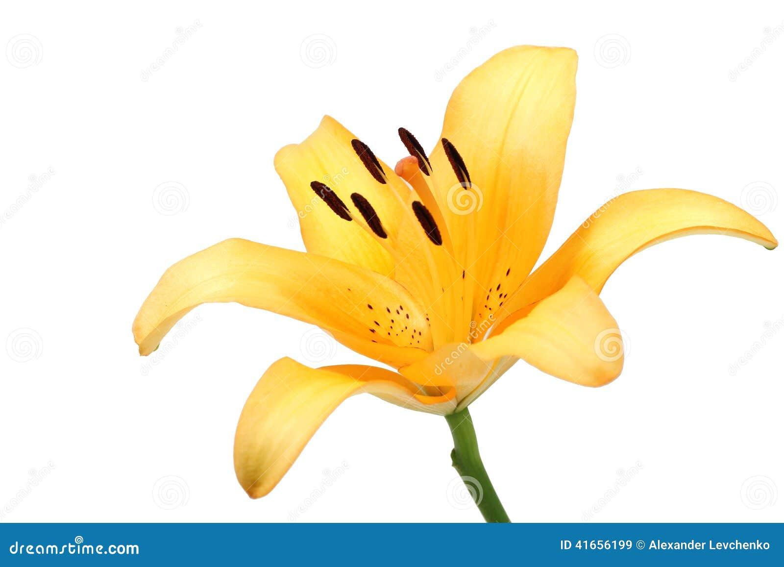 Оранжевый изолированный цветок лилии
