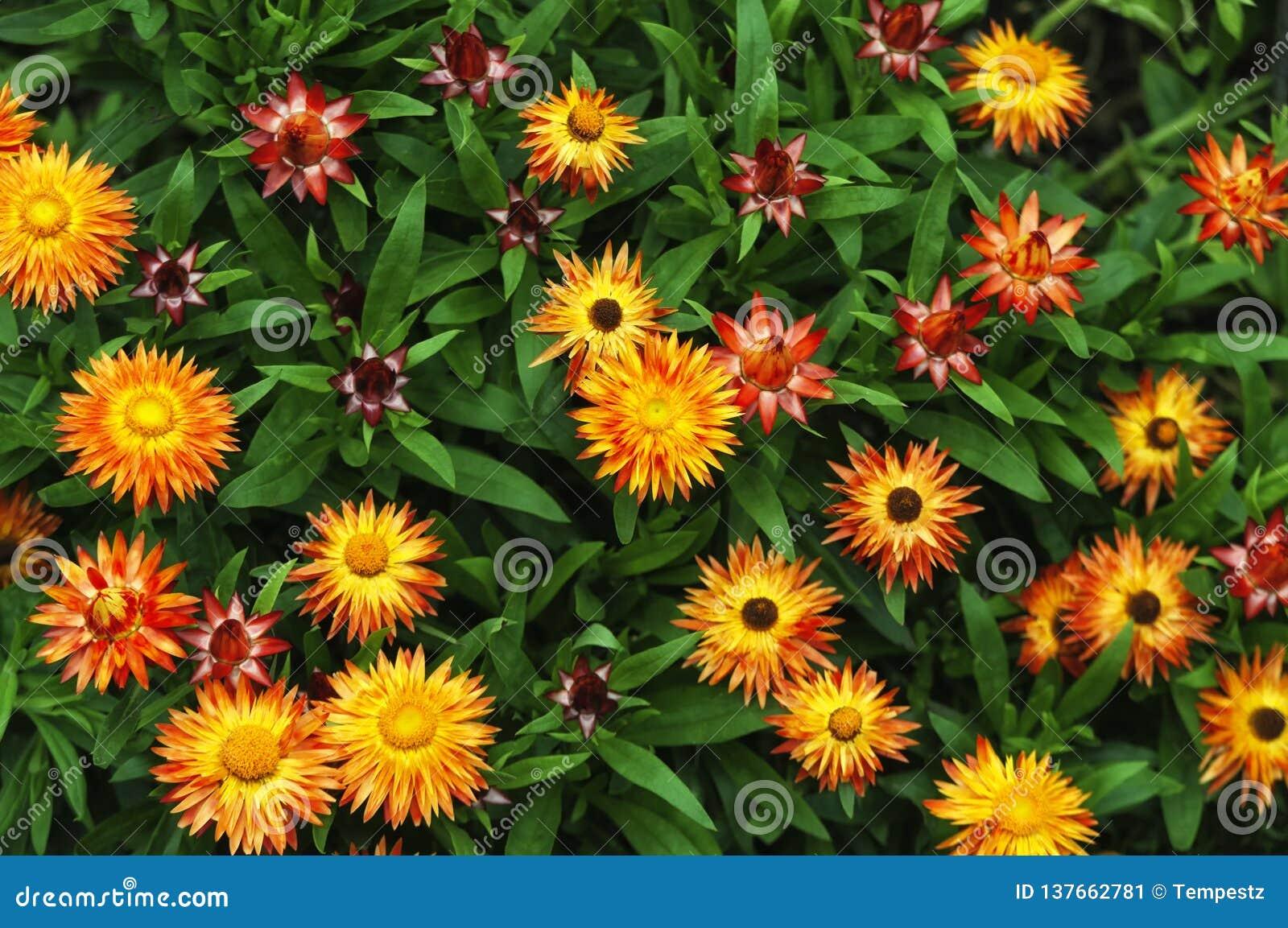 Оранжевый и желтый сад Strawflowers