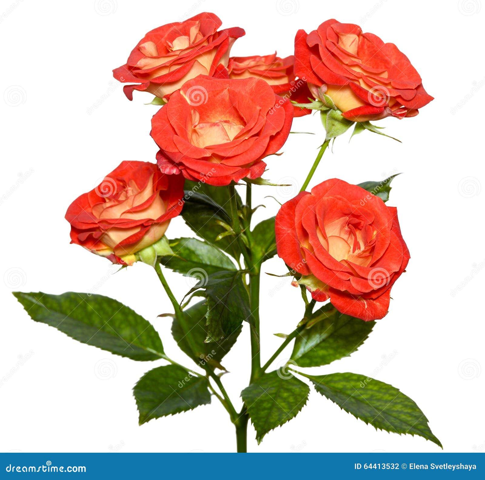 Оранжевый куст роз