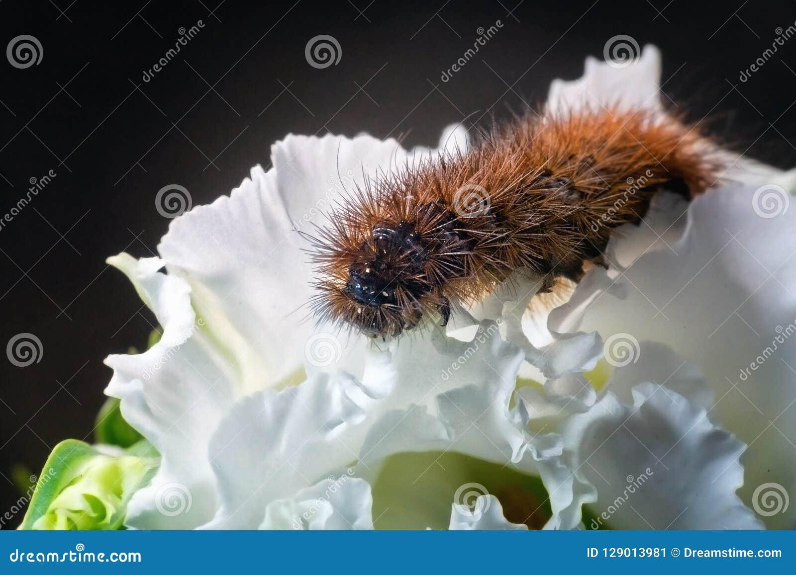 Оранжевый харч на цветении белого цветка