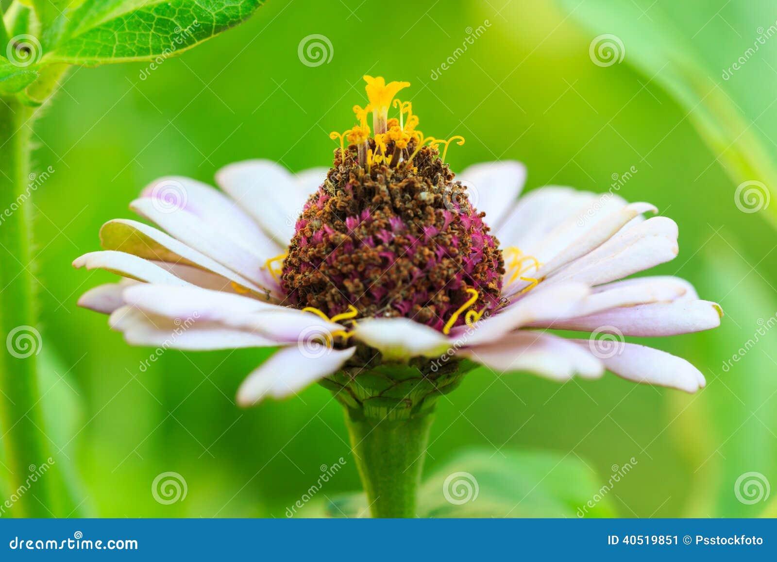 Оранжевый цветок zinnia