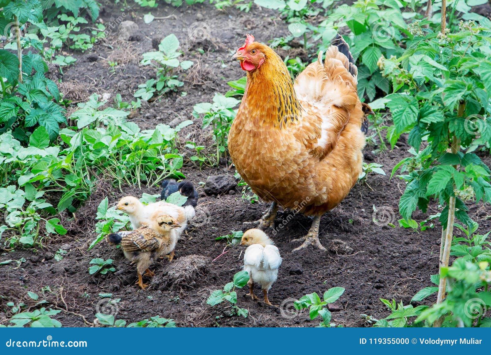 Оранжевый цыпленок при малые цыплята ища еда Wor цыпленка