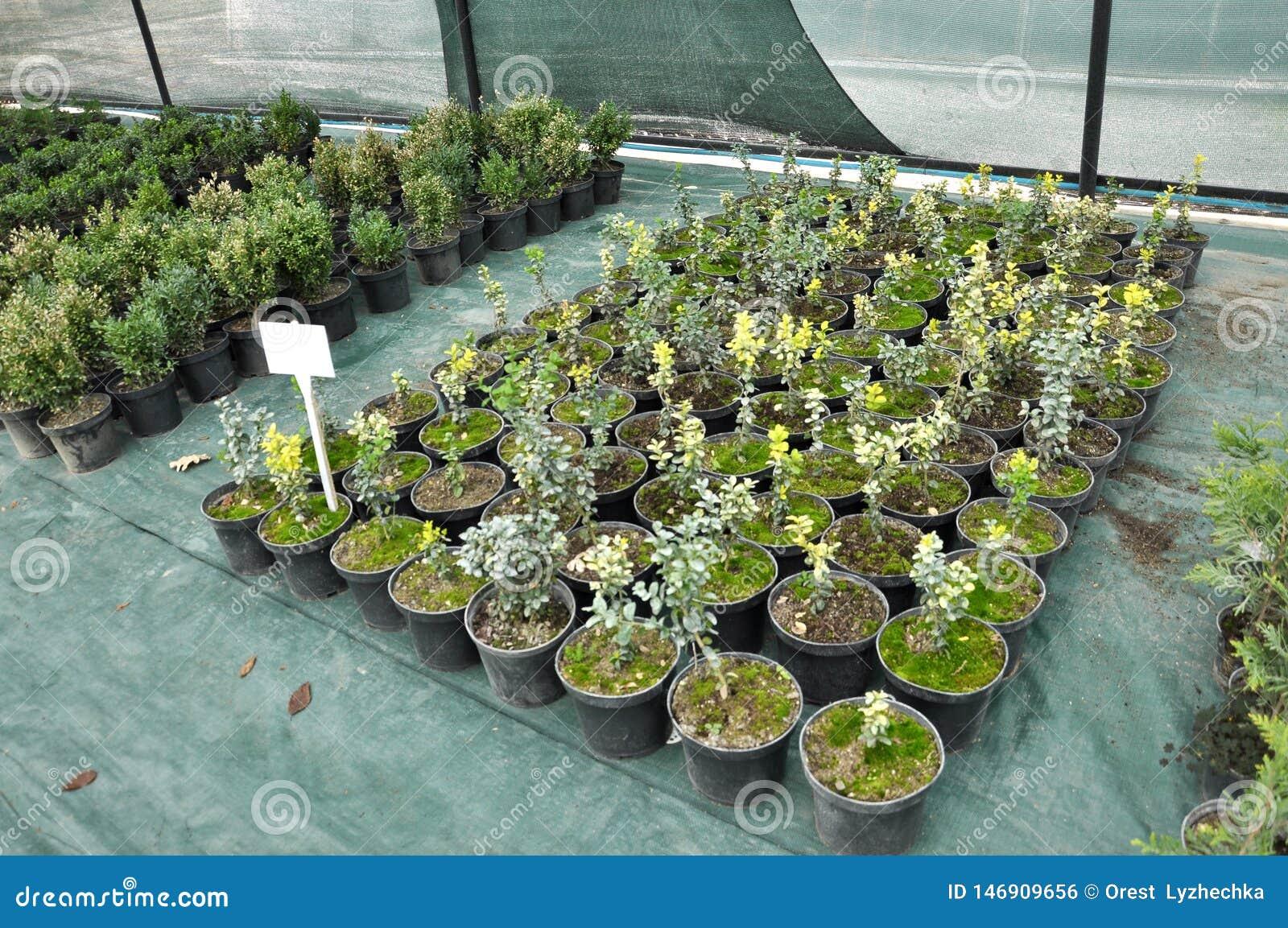 Оранжерея для растя саженцев орнаментальных кустов и деревьев