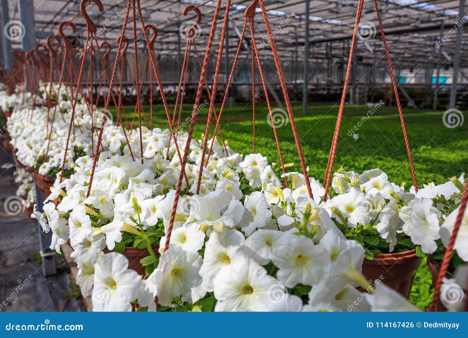 Органическая hydroponic ферма питомника культивирования орнаментальных заводов Большой современный парник