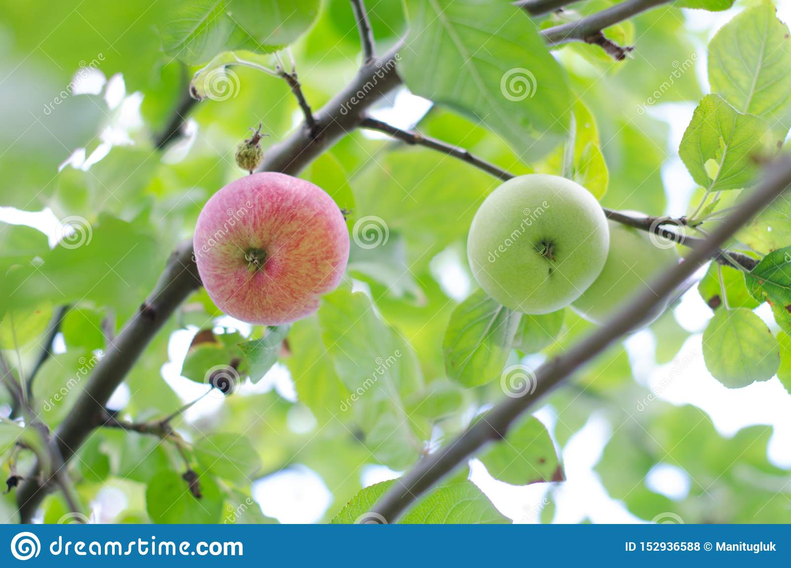 Органические красные и зеленые яблоки вися на ветви дерева