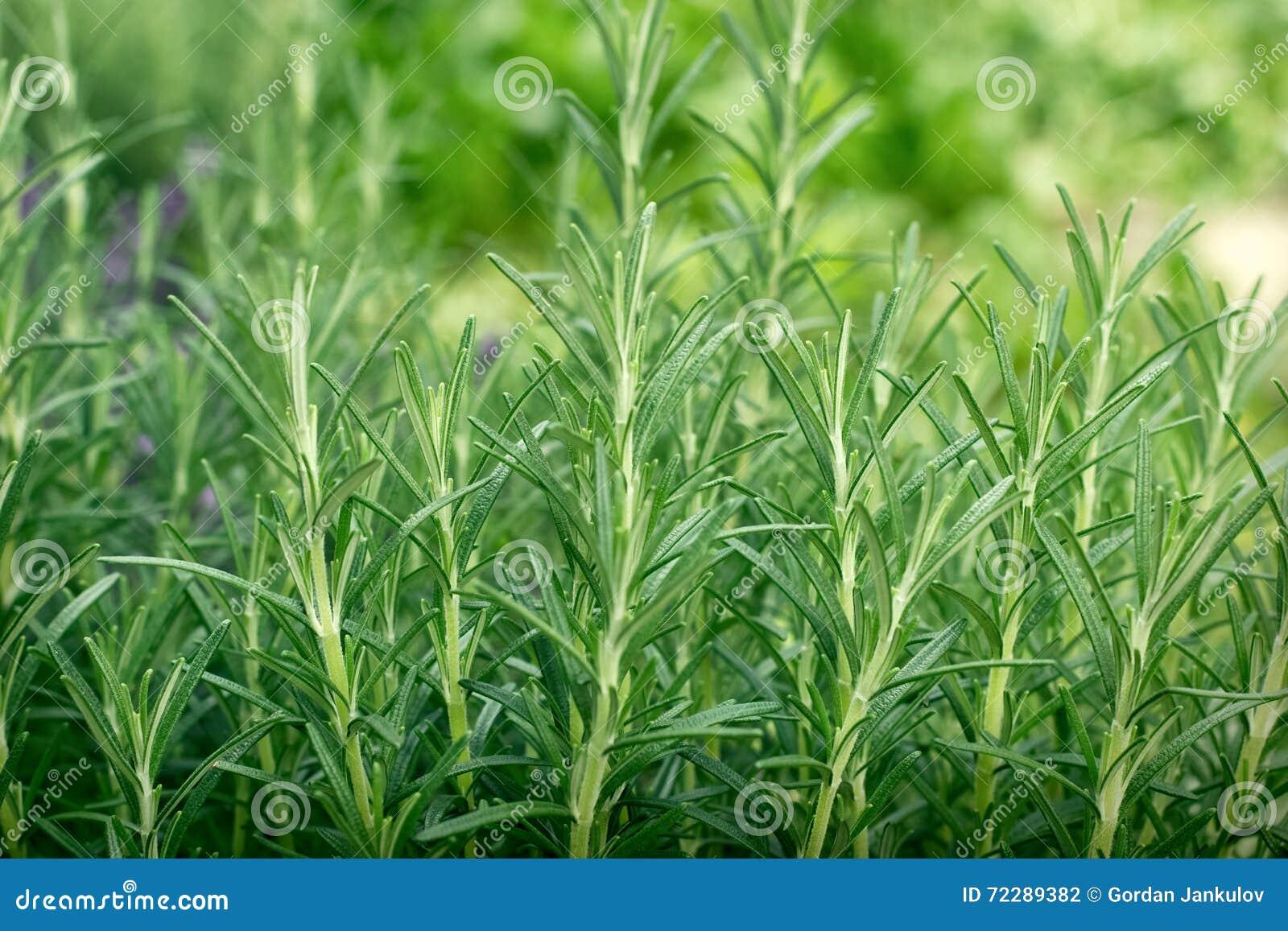 Download Органическое розмариновое масло в моем саде Стоковое Фото - изображение насчитывающей чисто, кухня: 72289382