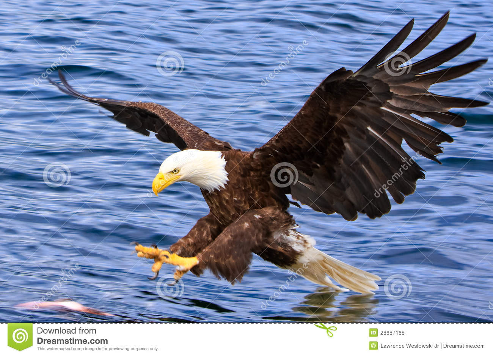 Орел Аляски облыселый атакуя рыбу