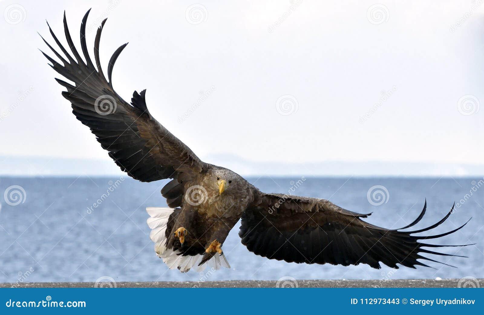 Орел бело-замкнутый взрослым в полете Научное имя: Albicilla Haliaeetus