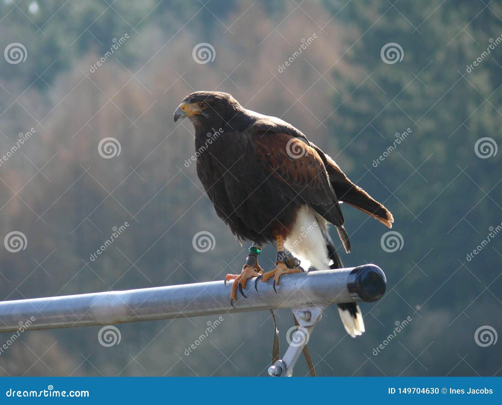 Орел степи