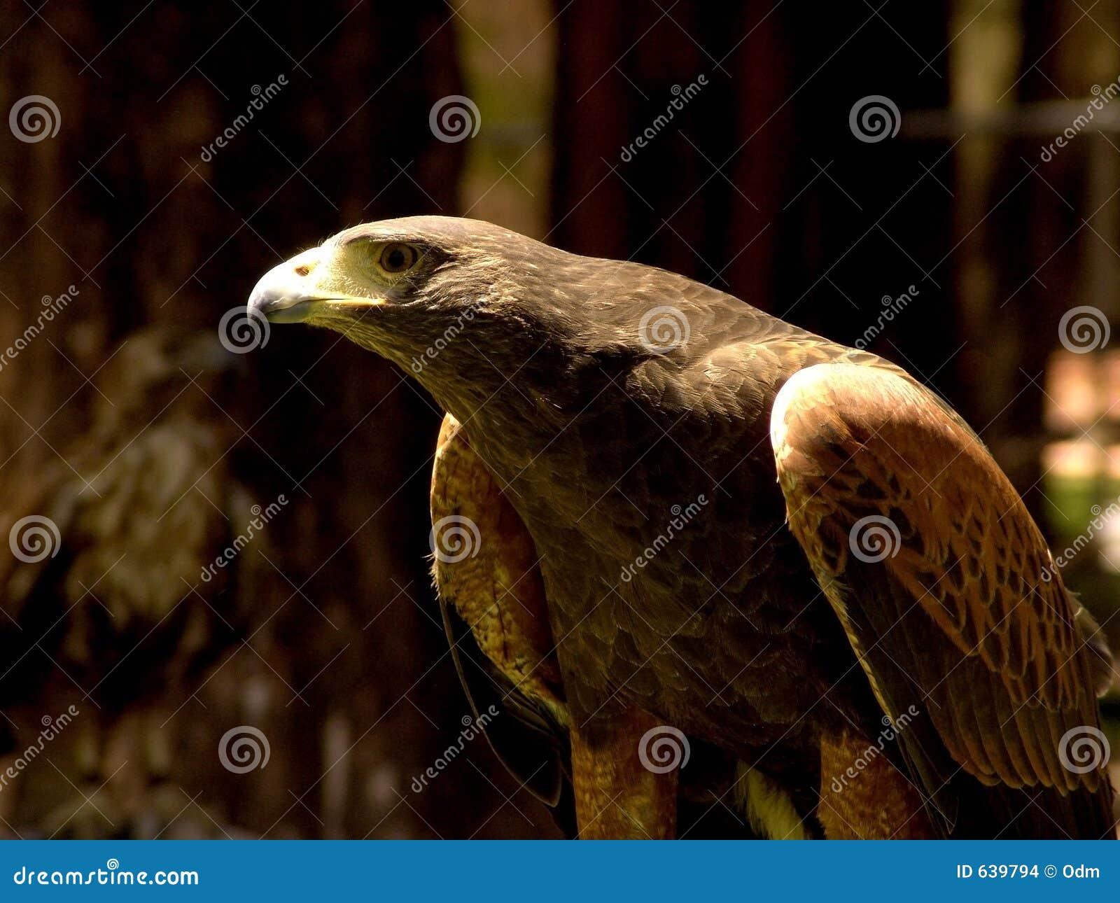 Download орел стоковое фото. изображение насчитывающей глаз, крюк - 639794