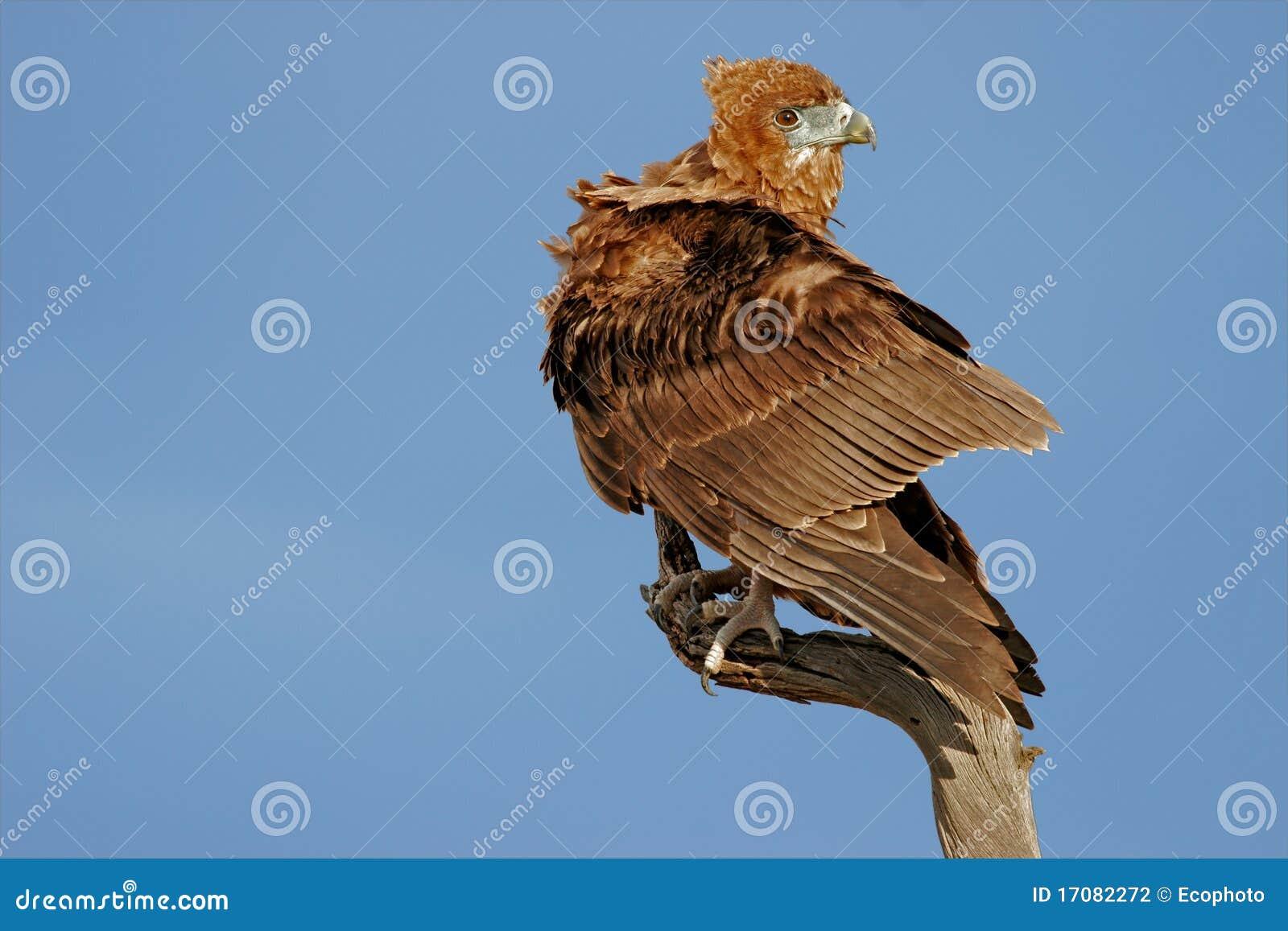 орел bateleur
