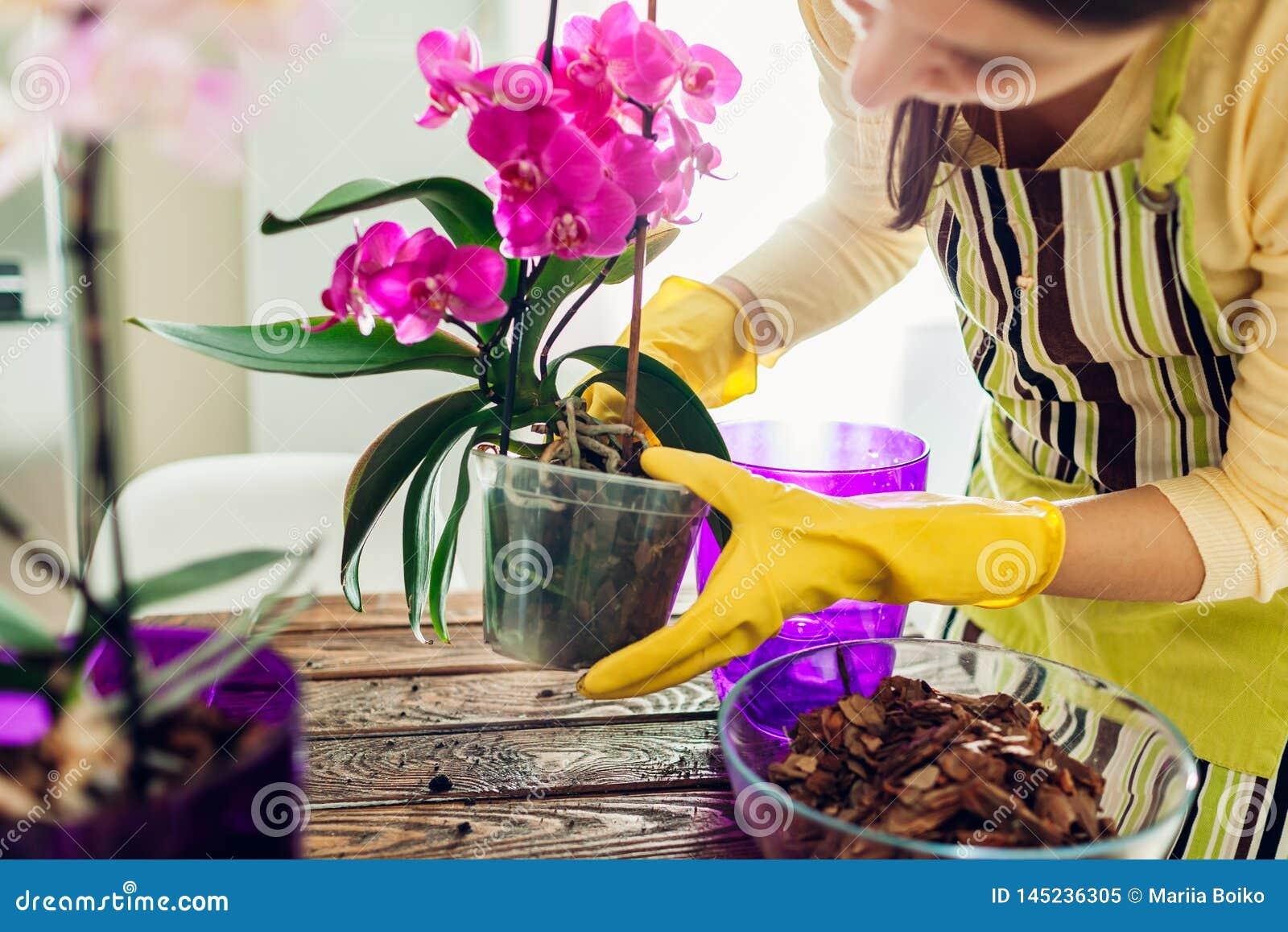 Орхидея женщины трансплантируя в другой бак на кухне Домохозяйка позаботить о домашние заводы и цветки