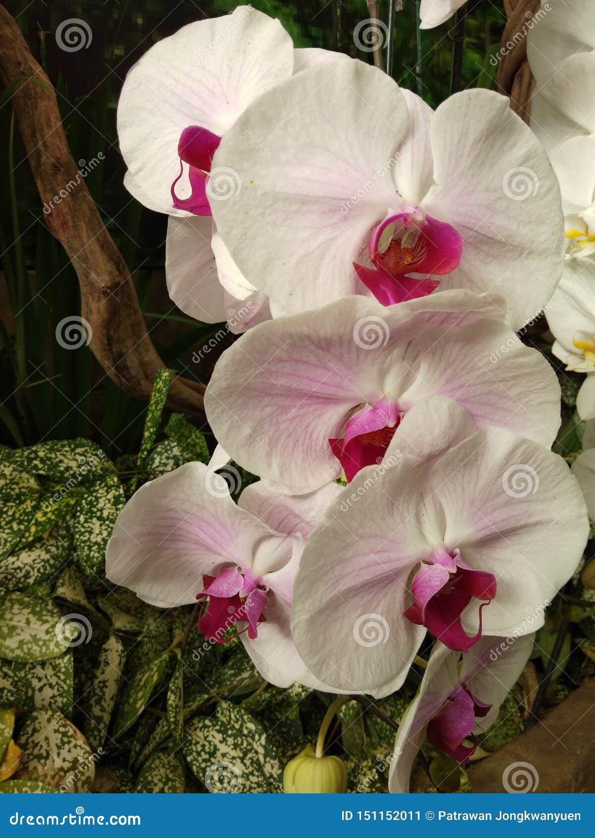 орхидея пинка и белых в саде