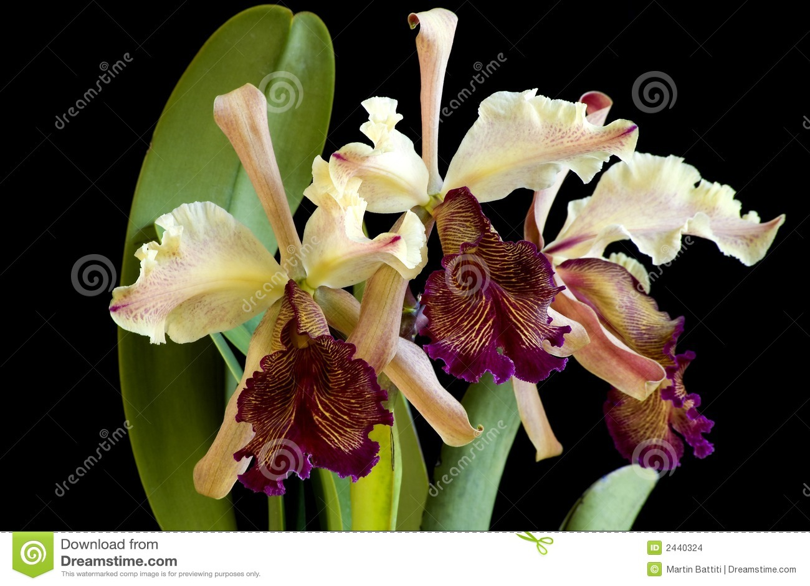 орхидея dowiana