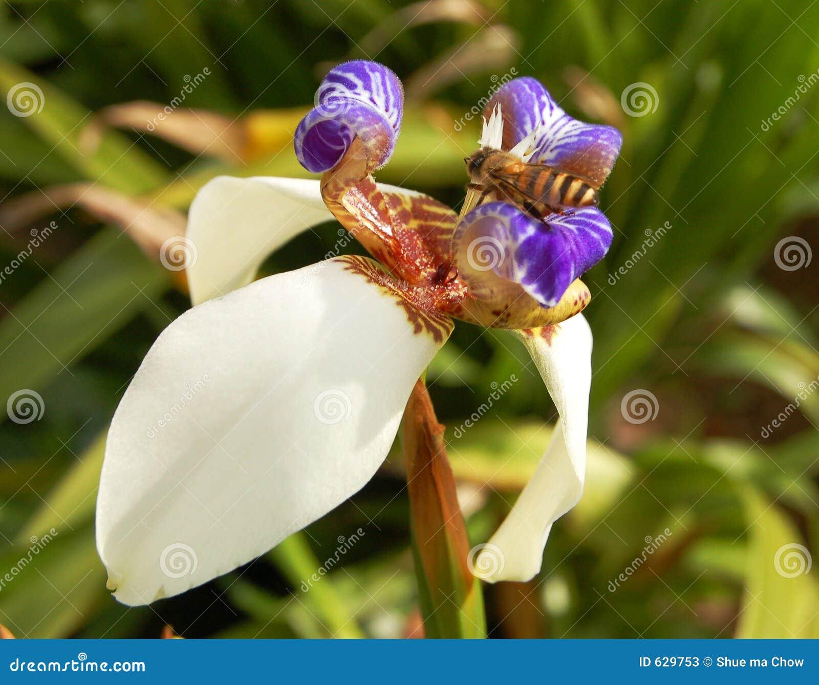 Download орхидея honeybee одичалая стоковое изображение. изображение насчитывающей лепесток - 629753