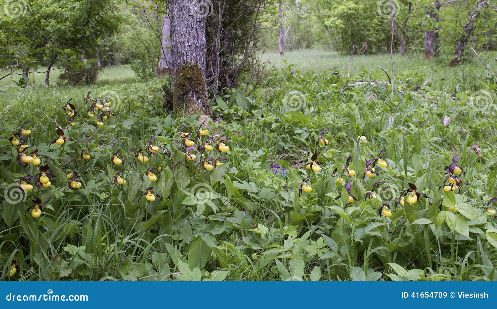 орхидея Дам-тапочки в их естественной среде обитания