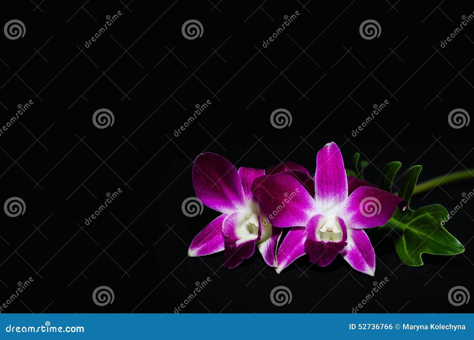 Орхидея изолированная на черной предпосылке