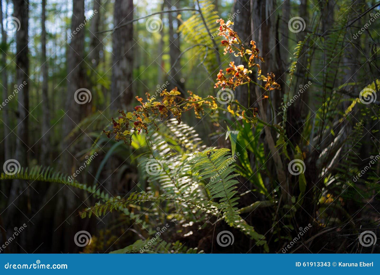 Орхидея Cowbell