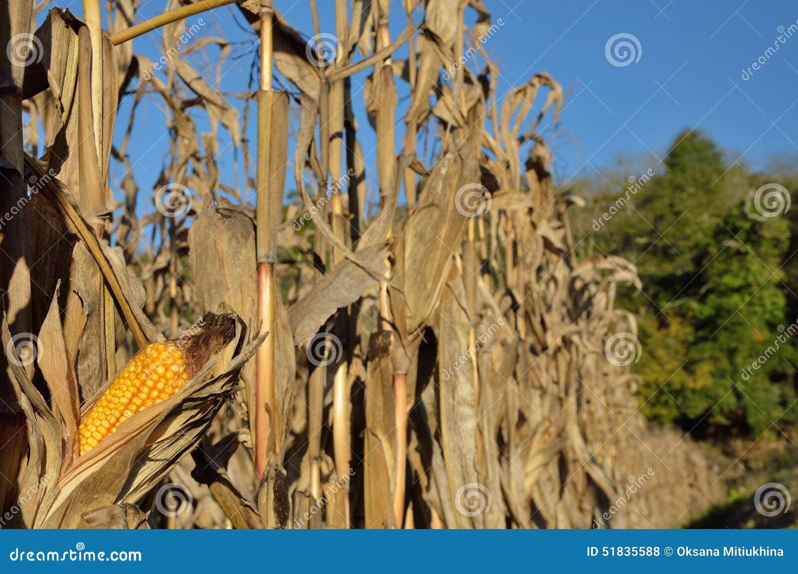 Осеннее кукурузное поле