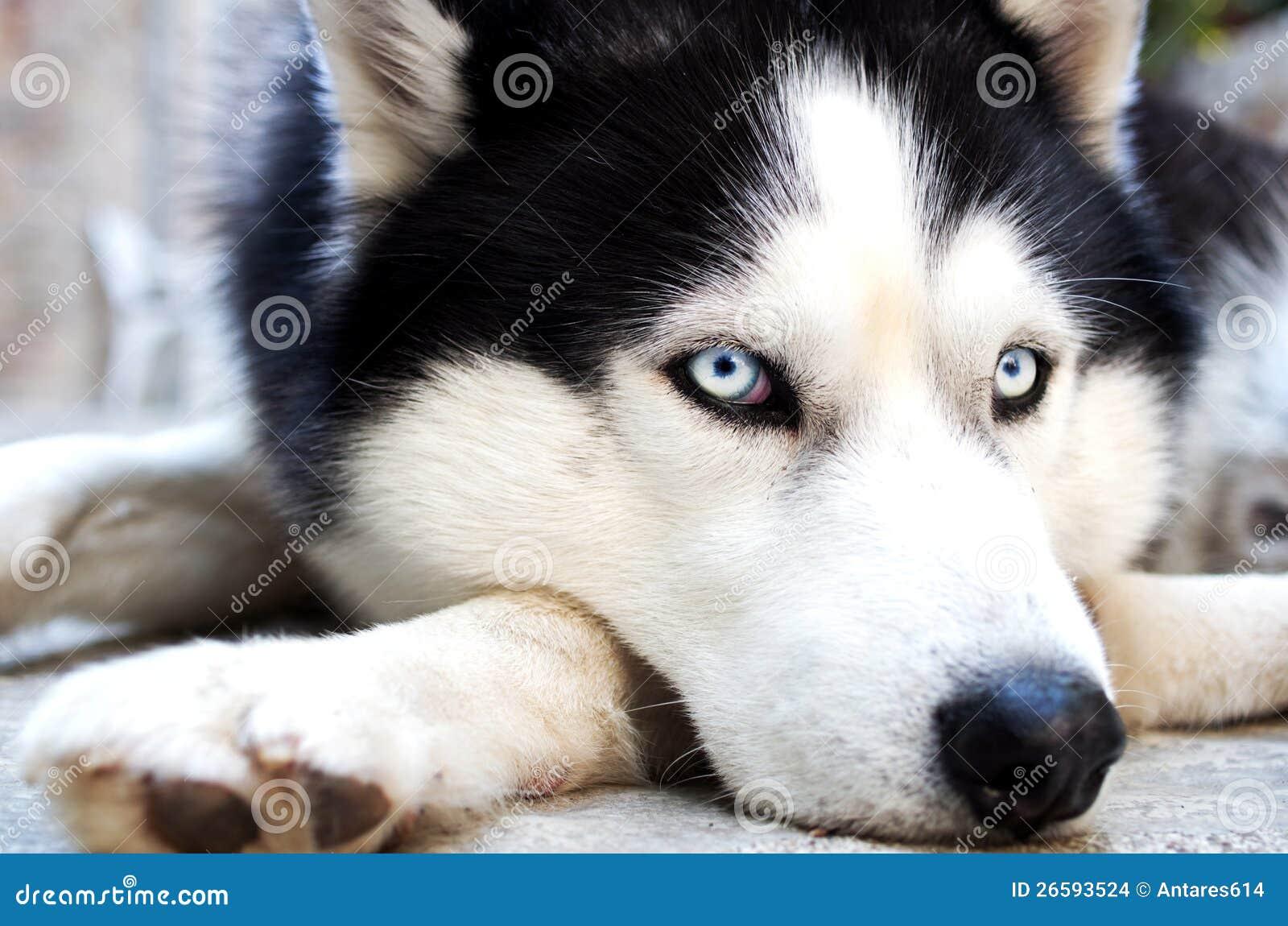 Осиплая собака