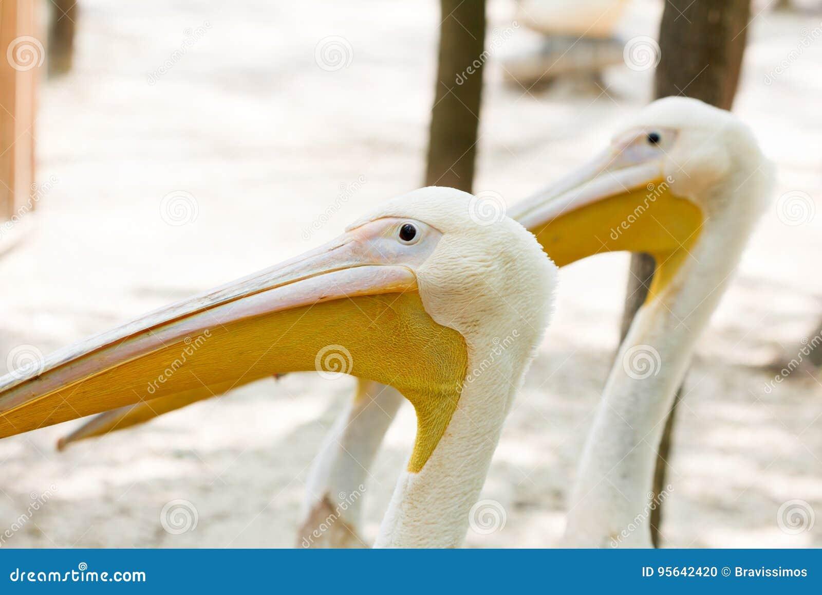 картинка велика пеликана с деньгами во рту купить изделие