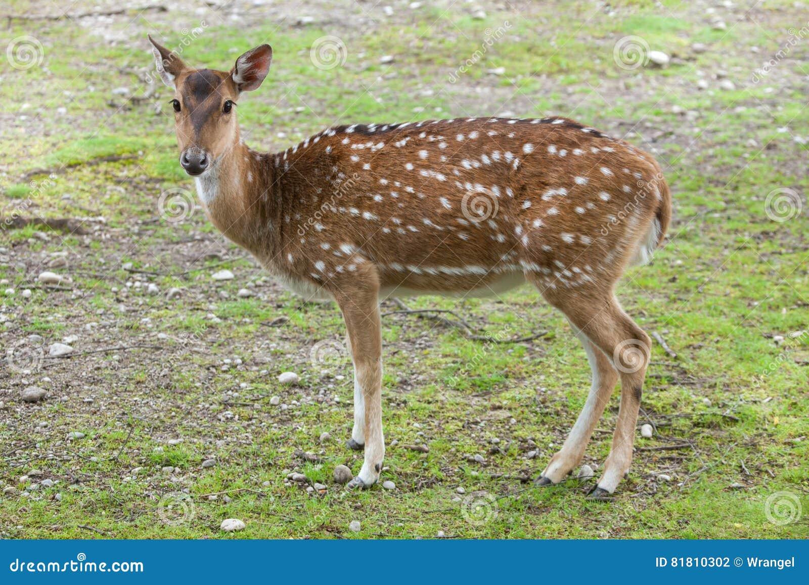 Ось оси Chital, также известная как запятнанные олени