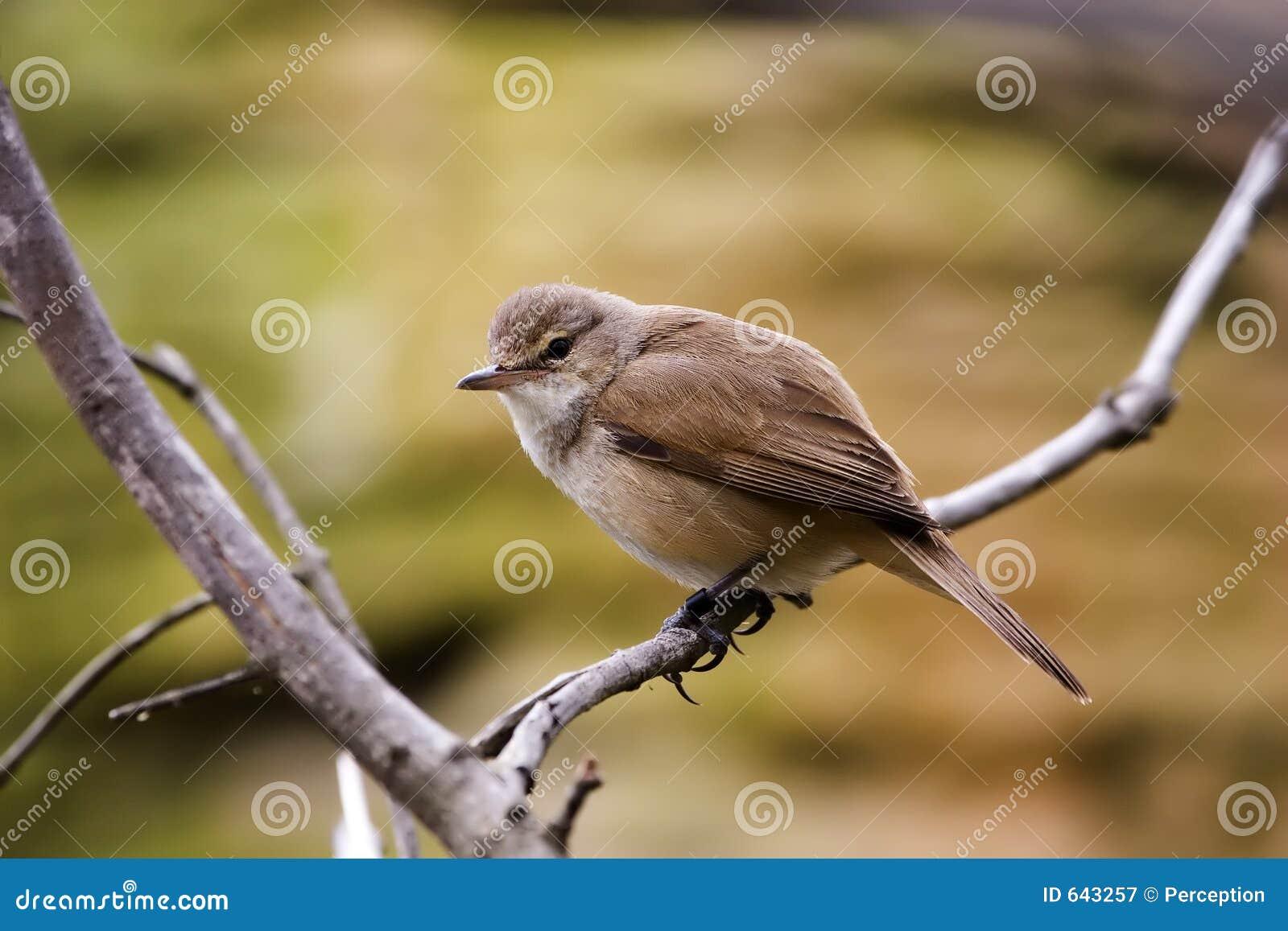 Download отдыхать ветви птицы стоковое изображение. изображение насчитывающей орнитология - 643257