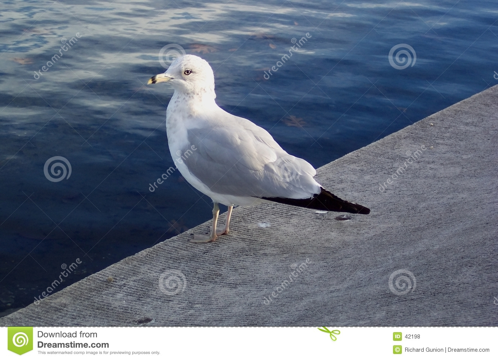 отдыхая чайка